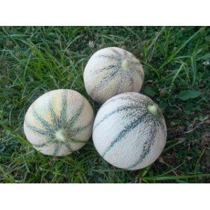 Melon gros calibre